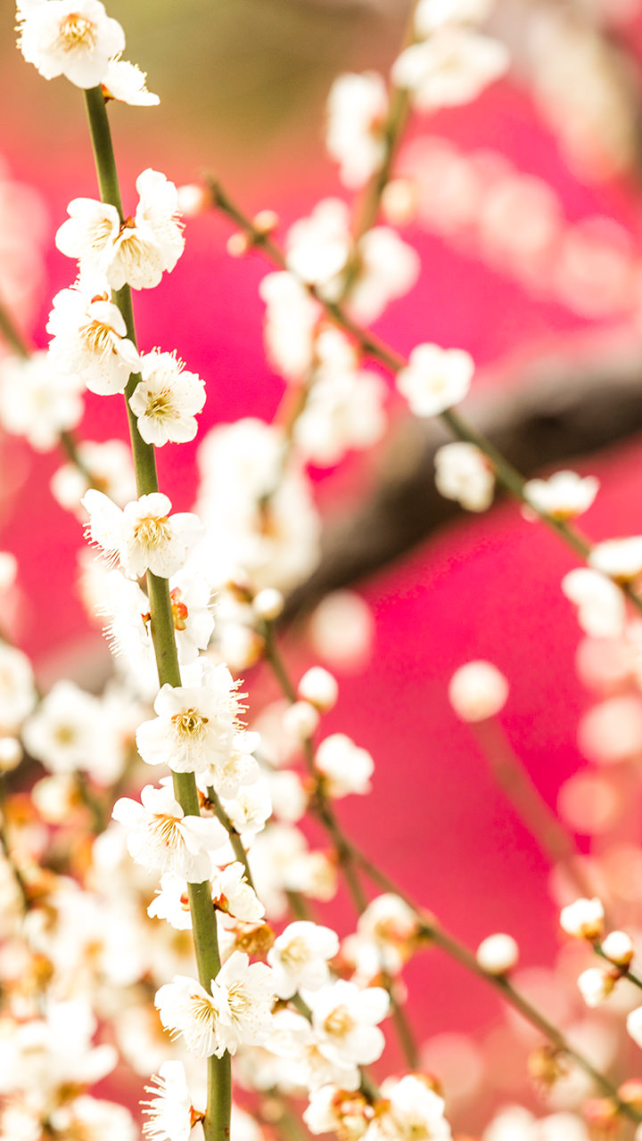 花のiphoneスマホ無料壁紙 待ち受け N47 フォトック