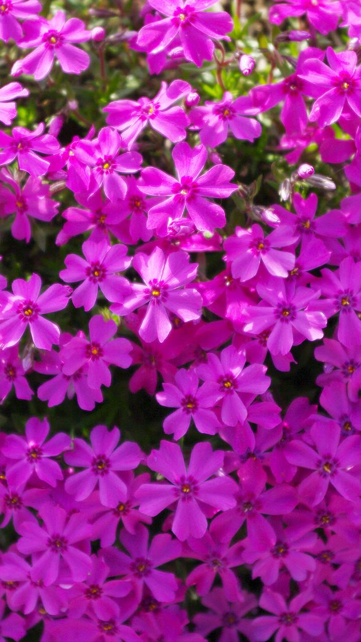 芝桜のiphoneスマホ無料壁紙 待ち受け 354 フォトック