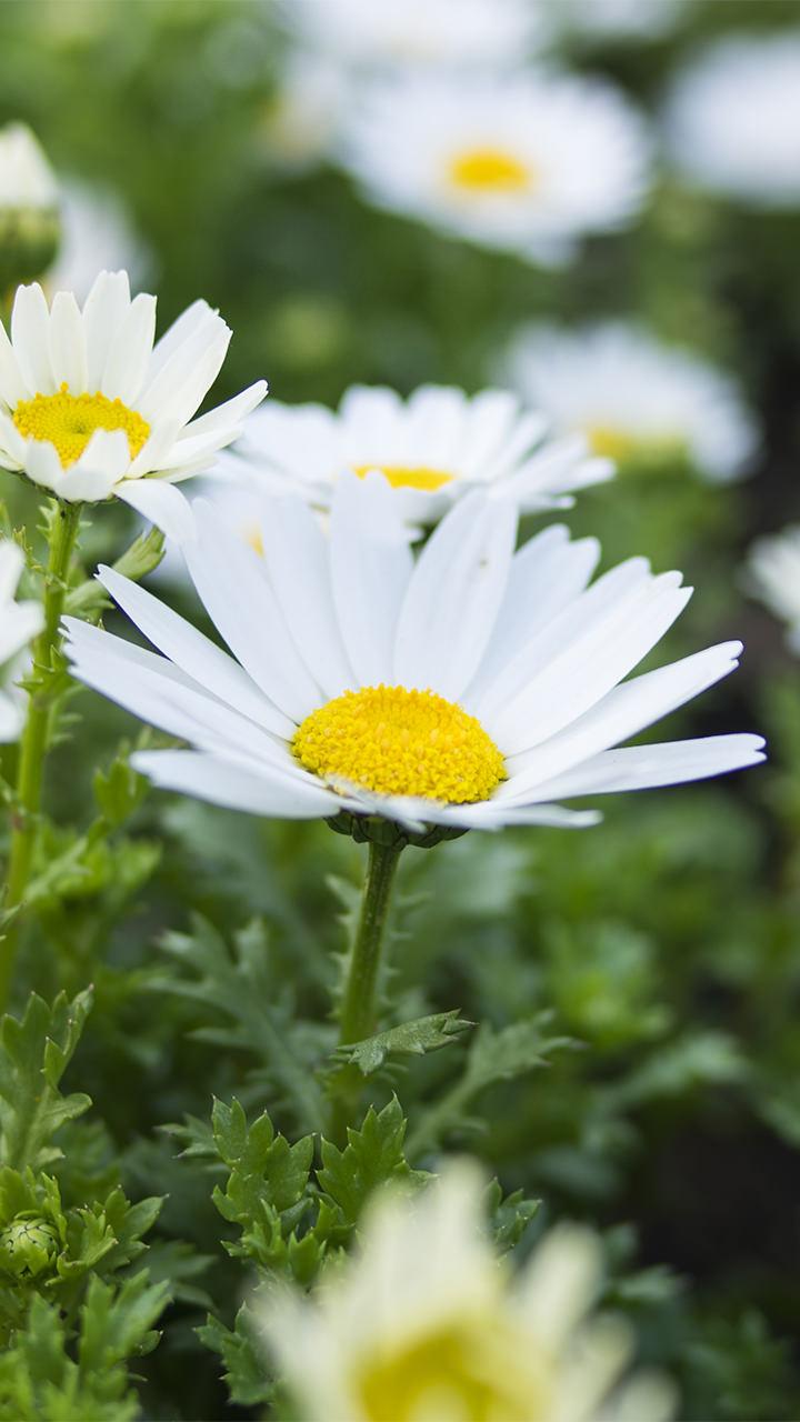 花のiphoneスマホ無料壁紙 待ち受け 4414 フォトック