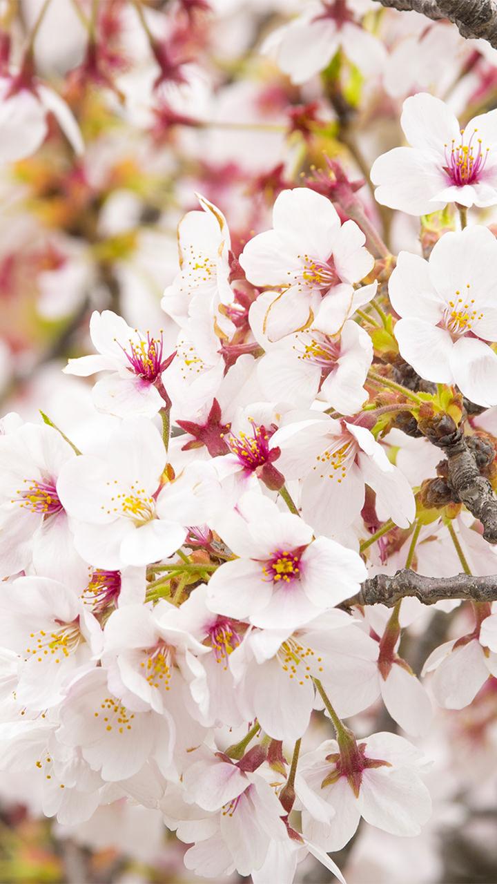 桜のiphoneスマホ無料壁紙 待ち受け 4514 フォトック