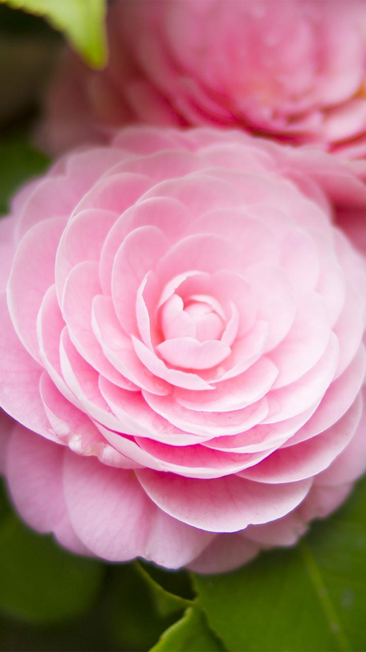花のiphoneスマホ無料壁紙 待ち受け 4543 フォトック