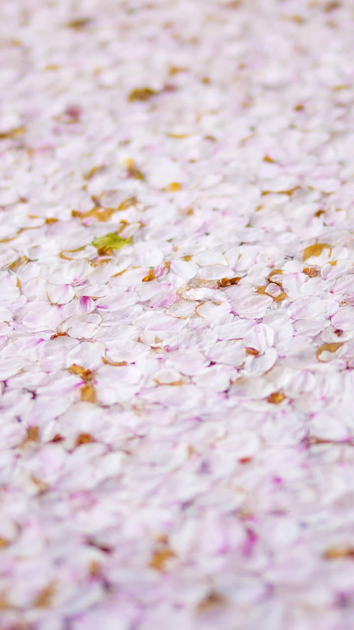 桜筏のiphoneスマホ無料壁紙 待ち受け 4554 フォトック