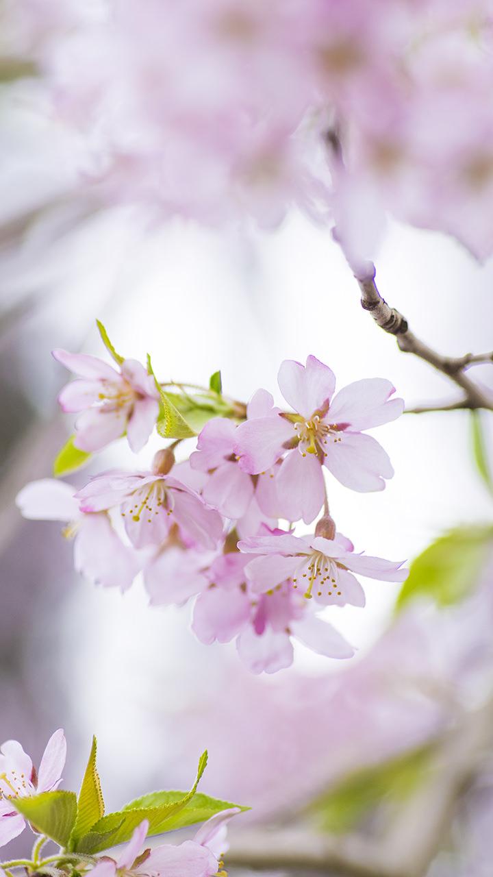 桜のiphoneスマホ無料壁紙 待ち受け N40 フォトック