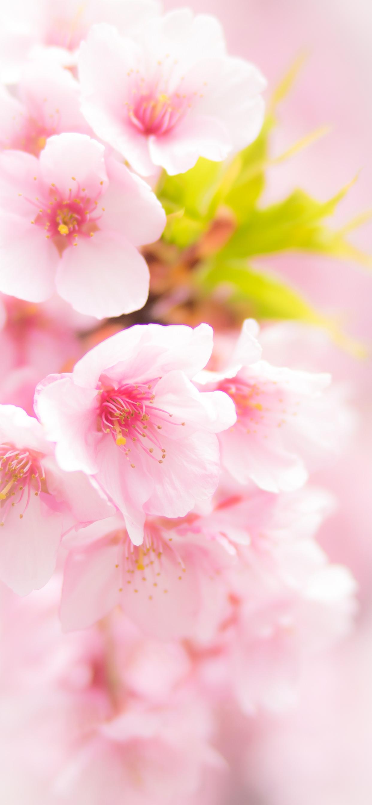 桜のiphoneスマホ無料壁紙 待ち受け 4234 フォトック